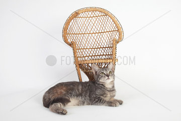3 months old kitten lying in front of a wicker chair on white background