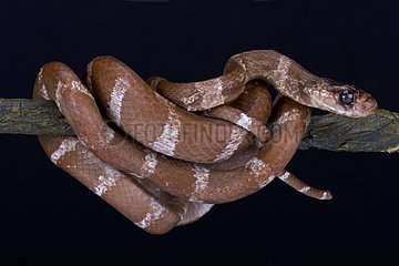 Striped Malagasy tree snake (Parastenophis betsileanus) on black background