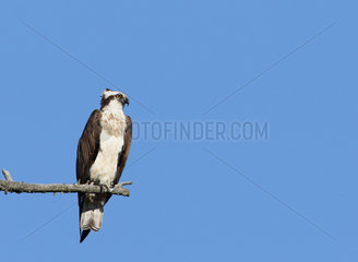 Osprey (Pandion haliaetus) adult observing on a perch  Highland  Scotland