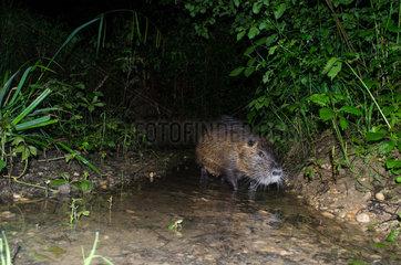 Walking Nutria (Myocastor Coypus)  during night. France  Ain (01)