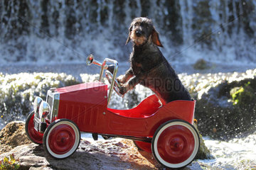 Dachshund sitting in a child's car in front of a waterfall