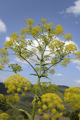 Corsican Hog's fennel in bloom in the bush - Corsica France