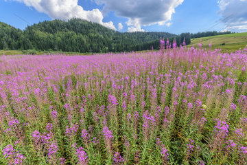 Willowherb (Epilobium sp) in bloom  Lake of the Embouteilleux  near La Pesse  Jura  France