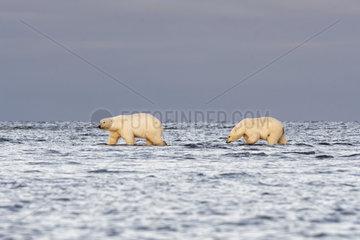 Polar bear (Ursus maritimus) female and young walking in water  Barter Island  North of the Arctic Circle  Alaska.