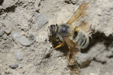 Leafcutting bee (Osmia villosa) female picking up a mortar at 2500m altitude for the construction of her breeding cell  Serre-Chevalier  Alpes  France