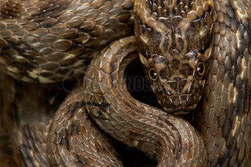 Viperine Water Snake - France
