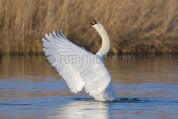Mute Swan  Cygnus olor  Hesse  Germany  Europe