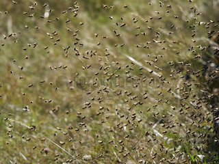 Honey bee (Apis mellifera) - The coming and going of bees during a massive return to the hive. A bee transports 20 to 30 milligrams of nectar and carries out 3 to 10 flights per day during 10 to 20 days of activity. A hive has between 100 000 and 200 000 foraging bees and thus harvests between 60 kilos and 300 kilos of honey per year.