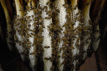 Honey bee (Apis mellifera) - In the warmth of the wax nest  the bees build the wax combs and the cells for storing the honey and raising the brood.