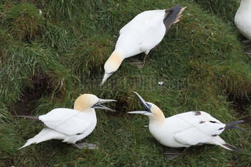 Gannets (Sula bassanus) spating between an adult on the left and a 4th year at home  defending the living space  Scotland
