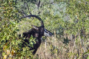 Sable antelope (Hippotragus niger)  Kruger National park  South Africa