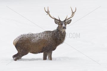 Red deer in Winter  Cervus elaphus  Bavaria  Germany  Europe