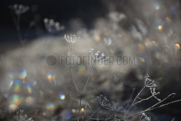 Reflections of the sun on the frost that melts in the grass  Regional Natural Park of the Vosges du Nord  France