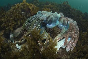 Giant Cuttlefish Sepia apama South Australia