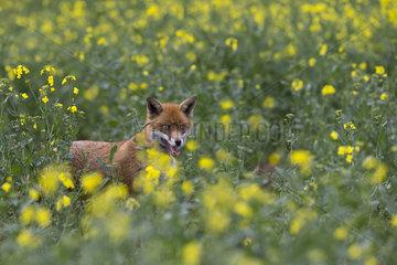 Red Fox among rape at spring - GB