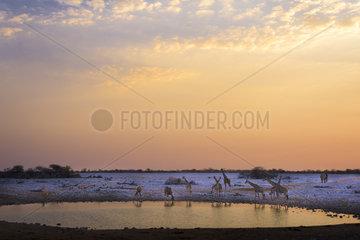Giraffe (Giraffa camelopardalis) drinking at Okaukuejo Waterhole  Namibia  Etosha national parc