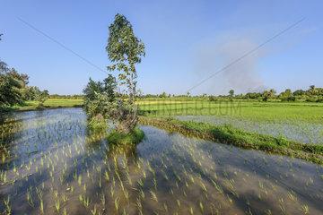 Rice fields  Morondava region  Southwestern coast of Madagascar