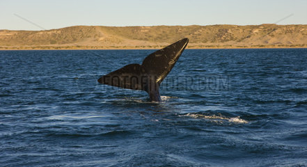 Southern Right Whale tail on the surface - Argentina