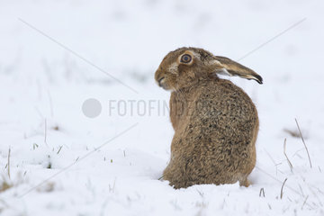 Brown Hare sitting in a meadow covered by snow - GB