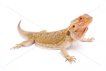 Bearded dragon (Pogona vitticeps) on white background