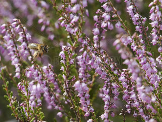 Honey bee (Apis mellifera) - A bee gathers nectar from the heather that flowers at the end of summer in temperate climates.