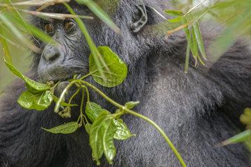 Young mountain gorilla (Gorilla gorilla berengei) looks through leaves  Rwanda
