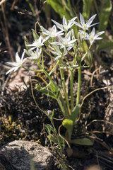 Garden Star-of-Bethlehem (Ornithogalum umbellatum)  In bloom in spring  Plaine des Maures  surroundings of Vidauban  Var 83  France