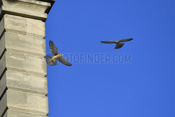 Common Kestrels (Falco tinnunculus) in flight  castle of Vincennes  France