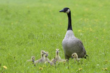 Canada Goose with Goslings (Branta canadensis)  Hesse  Germany  Europe