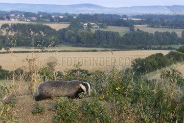 Badger (Meles meles) Badger amongst the british contryside  England  Spring
