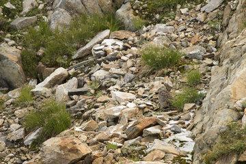 Rock Ptarmigan (Lagopus muta) female  Alps Valais  Switzerland.