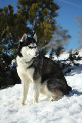 Siberian Husky sitting in the snow - France