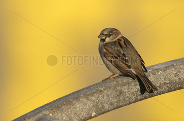 House sparrow (Passer domesticus) Male sparrow perched on a piece of steel  Engalnd  Winter