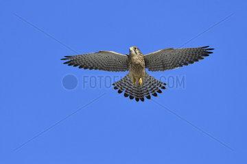 Common Kestrel (Falco tinnunculus) in flight  castle of Vincennes  France
