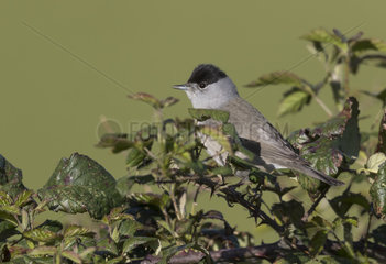 Balckcap ( Sylvia atricapilla) Male perched amongst bramble  England  Spring