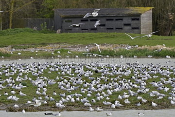 Observation watch and colony of Black-headed Gulls (Croicocephalus ridibundus) in breeding season  Somme bay Natural Reserve  France