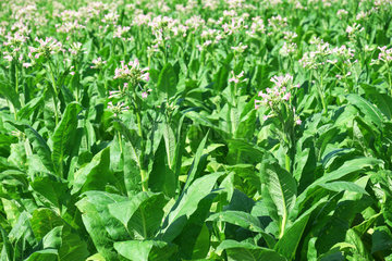 Plants of tobacco  tobacco growing in the Lot Valley  Saint Cirq  Lot-et-Garonne  France