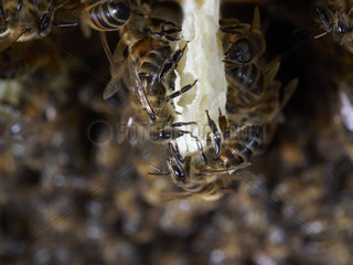 Honey bee (Apis mellifera) - On a comb under construction  the bees build round cells with the wax that they secrete. The wax of the cera alba bee is made from the white and transparent scales that appear at the opening of the four small pockets situated on each side of its abdomen.