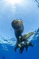 Group of California sea lion  (Zalophus californianus)  Los Islotes  Sea of Cortez  Baja California  Mexico  East Pacific Ocean