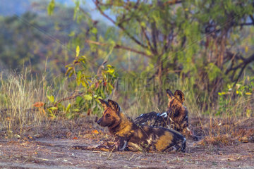 African Wild Dogs (Lycaon pictus) lying   Kruger National Park  South Africa