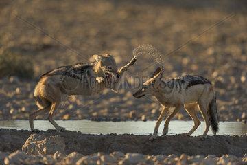Black-Backed Jackal (Canis Mesomelas) playing at the waterhole at sunset time  Kalahari  Namibia