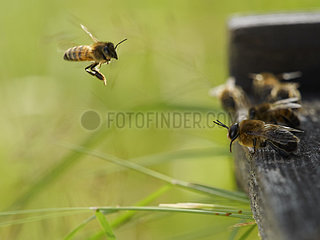 Honey bee (Apis mellifera) - A drone ready for take-off the flight board.