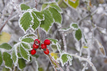 Frosted rosehips Field Rose (Rosa arvensis)  Vosges du Nord Regional Nature Park  France