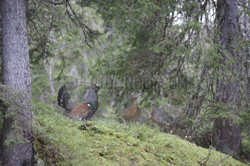 Western Capercaillie (Tetrao urogallus major) male displaying and females  Slovenia