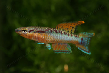 Twostripe lyretail (Aphyosemion bivittatum) male