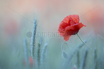 Poppy flower in a field of barley - Alsace France
