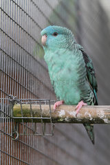 Catherine parakeet (Bolborhynchus lineola)  Male partial blue mutation