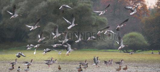 Migratory gathering of Greylag Goose (Anser anser)  Sauer Delta Nature Reserve  Rhine Border  Munchhausen  Alsace  France