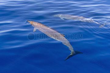 Blainville's beaked whale (Mesoplodon densirostris) Tahiti French Polynesia