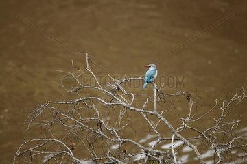 Angola kingfisher (Halcyon senegalensis)  Masaï Mara  Kenya